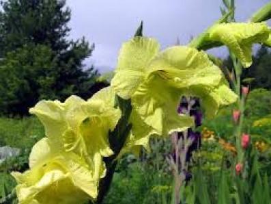 Цвітуть гладіолуси