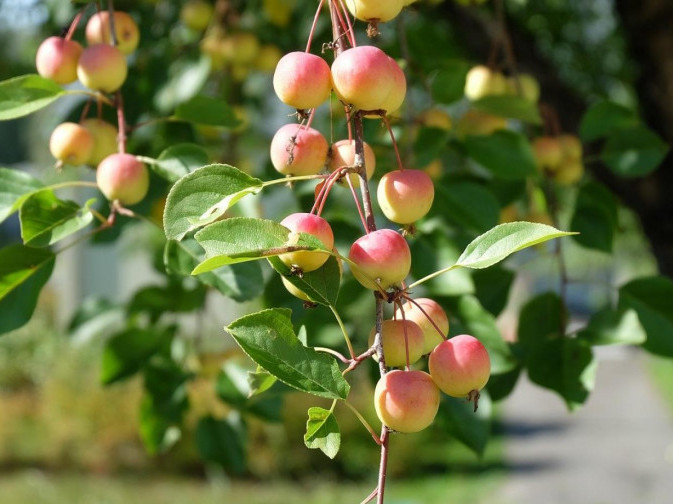 Серпневі плоди