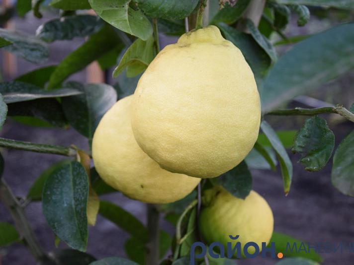 У теплиці Маневицького лісового господарства дозрівають 55 кущів лимонів