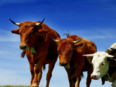 Дотація на корів