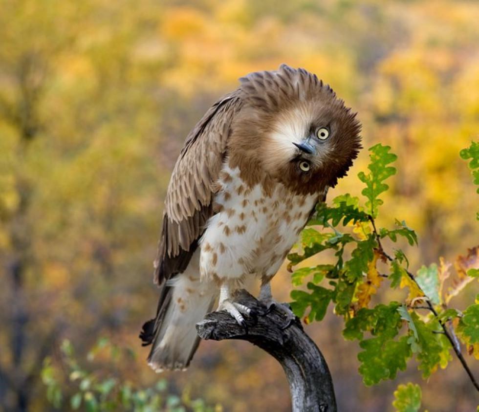 Болотна сова