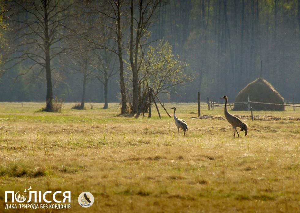 Журавель сірий - надзвичайно вразливий до змін середовища птах